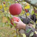 20141116りんご狩り